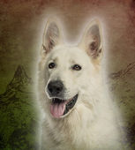 Close-up of a White Swiss Shepherd Dog panting on a vintage colo — Stock Photo