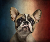 Close-up of a French Bulldog, on a vintage colored background — Stock Photo