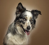 Close-up of a Border collie panting, with provocative look, on a — Stock Photo