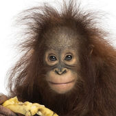 Close-up of a Young Bornean orangutan eating a banana, looking a — Stock Photo