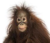Young Bornean orangutan looking at the camera, Pongo pygmaeus, 1 — 图库照片