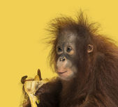 Close-up of a young Bornean orangutan eating a banana, Pongo pyg — Stock Photo