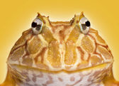 Close-up of an Argentine Horned Frog facing, Ceratophrys ornata, — Stockfoto