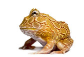 Side view of an Argentine Horned Frog, Ceratophrys ornata, isola — Stockfoto