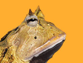 Close-up of an Argentine Horned Frog's profile, Ceratophrys orna — Stock Photo