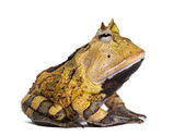 Side view of an Argentine Horned Frog, Ceratophrys ornata, isola — Stock Photo