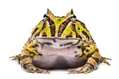 Front view of an Argentine Horned Frog, Ceratophrys ornata, isol — Stock Photo