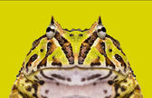 Close-up of an Argentine Horned Frog facing, Ceratophrys ornata  — Stockfoto