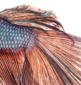 Close-up of a Siamese fighting fish's caudal fin, Betta splenden — Stock Photo