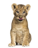 Lion cub sitting, licking, 7 weeks old, isolated on white — Stock Photo