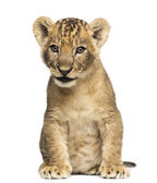 Lion cub sitting, 7 weeks old, isolated on white — Stock Photo