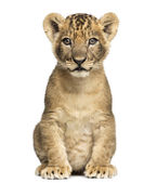 Lion cub sitting, looking at the camera, 7 weeks old, isolated o — Stock Photo