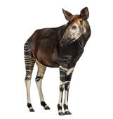 Okapi standing, looking away, Okapia johnstoni, isolated on whit — Stock Photo