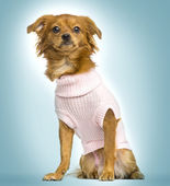 Dressed-up crossbreed dog sitting, on a blue gradient background — Stock Photo