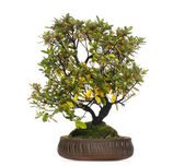 Rhododendron bonsai tree, isolated on white — Stock Photo