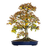 Beech bonsai tree, Fagus, isolated on white — Stock Photo