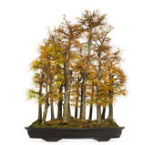 Golden larch bonsai tree, Pseudolarix amabilis, isolated on whit — Stock Photo