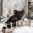 Chihuahua sitting on a bridge in a winter scenery, 2 years old — Stock Photo #42108365