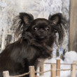Chihuahua on a bridge in a winter scenery, 2 years old — Stock Photo #42108381
