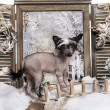 Chinese crested dog puppy standing on bridge in winter scene — Stock Photo #42108427