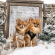 Two dressed-up Chihuahuas on a bridge, in a winter scenery — Stock Photo #42108579