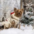 Stock Photo: Dressed-up Yorkshire terrier sitting on bridge, in winter sc