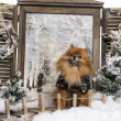 Stock Photo: Dressed-up Spitz sitting on bridge, in winter scenery