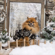 Foto Stock: Dressed-up Spitz sitting on bridge, in winter scenery