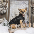 Foto Stock: Dressed-up Chihuahuin winter scenery, 9 months old