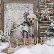 Stockfoto: Dressed-up Chinese crested dog in winter scenery, 9 months old