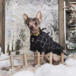 Foto Stock: Dressed-up Chinese crested dog in winter scenery, 3 months old