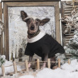 Foto Stock: Dressed up Chinese crested dog in winter scenery, 9 months old