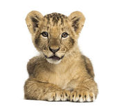 Lion cub lying, looking at the camera, 10 weeks old, isolated on — Stock Photo