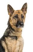 Nahaufnahme von einem alten Schäferhund-Hund, isoliert auf weiss — Stockfoto