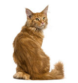 Rear view of a Maine Coon kitten sitting, looking up, 4 months o — Stock Photo