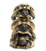 Front view of three baby Hermann's tortoise piled up, Testudo he — Stock Photo