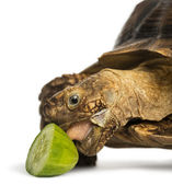 Close-up of an African Spurred Tortoise eating a bit of cucumber — Stock Photo