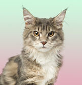 Close-up of a Maine Coon kitten looking at the camera, on a grad — Stock Photo