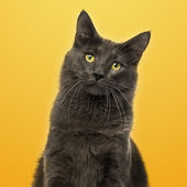 Close-up of a Maine Coon facing on a yellow background — Stock Photo
