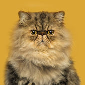 Front view of a grumpuy Persian cat sitting, looking at the came — Stock Photo