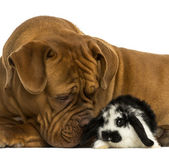 Close-up of a Dogue de Bordeaux sniffing a Lop rabbit, isolated  — Stock Photo