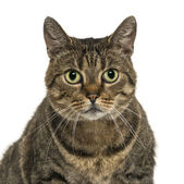 Close-up of a European shorthair facing, looking at the camera, — Stock Photo