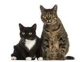Front view of two European shorthair cats, isolated on white — Stock Photo