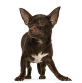 Chihuahua standing, eyes closed, 9 months old, isolated on white — Stock Photo