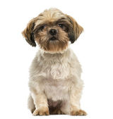 Front view of a Shih tzu sitting, isolated on white — Stock Photo