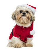 Shih Tzu wearing a christmas disguise, sitting, 10 months old, i — Stock Photo