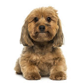 Crossbreed dog lying, looking at the camera, 5 years old, isolat — Stock Photo