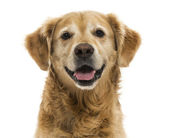 Close-up of a Golden Retriever panting, 11  years old, isolated  — Stock Photo