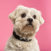 Close-up of a Maltese, 5 years old, isolated on a pink backgroun — Stock Photo