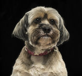 Close-up of a Lhasa apso, on a black background — Stock Photo